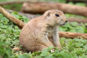 A prairie dog, an animal that can be found at many zoos.
